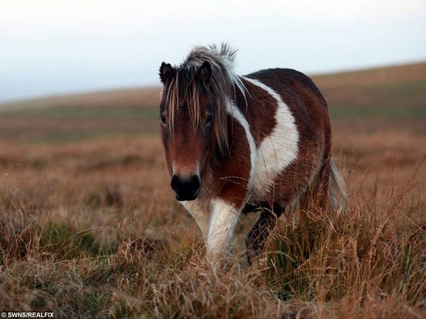 farmers market stall sells dartmoor ponies as sausages and burgers