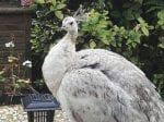 Residents Baffled By Friendly Peahen Who Loves Watching The Local News