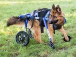 Dog Left Disabled After Being Stamped On As A Puppy Is Given His Own Set Of Wheels