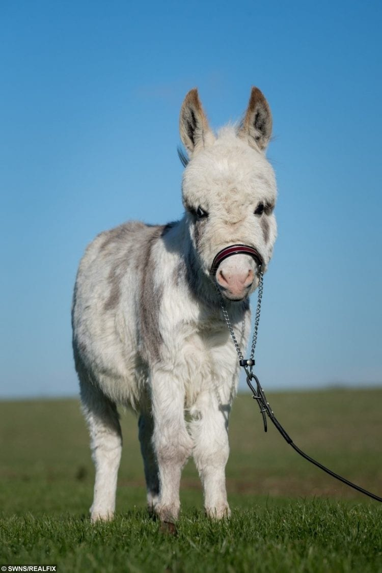 Meet Little Ottie The Worlds Smallest Donkey At Just 19