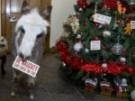 Baby Donkey Spending First Christmas In Family Home Despite Wrecking Their Tree