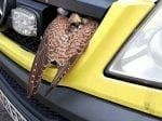 Kestrel Gets Lucky Escape After Getting Wedged In Front Grill Of Ambulance