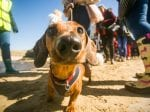 World Record Broken As Over 600 Sausage Dogs Gather On Beach