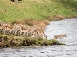Photographer Captures Hoards Of Deer Leaping Into River