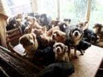 RSPCA Find 82 Chihuahuas Crammed Inside Couple's Home