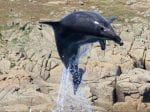 Incredible Footage Shows UK Resident Dolphins Leaping Into The Air