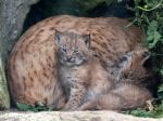 Two Adorable Eurasian Lynx Cubs Born At Newquay Zoo