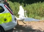 West Country Cops Have Hot Fuzz Moment And Release Swan From Squad Car