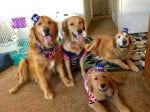 Golden Retriever Mom-Of-Ten Gets To See Her Puppies Grow Up After Owner Gave One To Each Of Her Friends