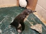 Sweet Penguin Chick Takes Its First Swimming Lesson