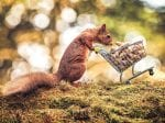 Hilarious Picture Of A Hungry Red Squirrel Pushing A Tiny Shopping Trolley Filled With Monkey Nuts