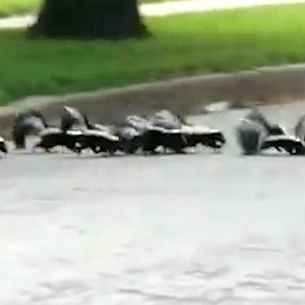 Couple Cross Paths With Skunk Mum And Her SEVEN Stinky Babies