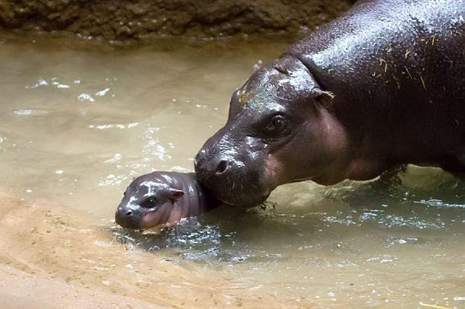 Visitors Are Being Asked To Help Pick The Name Of Zoo's Newest And Cutest Arrival – A Baby Pygmy Hippo