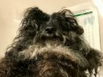Rescue Staff Forced To Shave Matted Hair Off Poodle – Because It Was So Mistreated It Couldn't Eat Properly