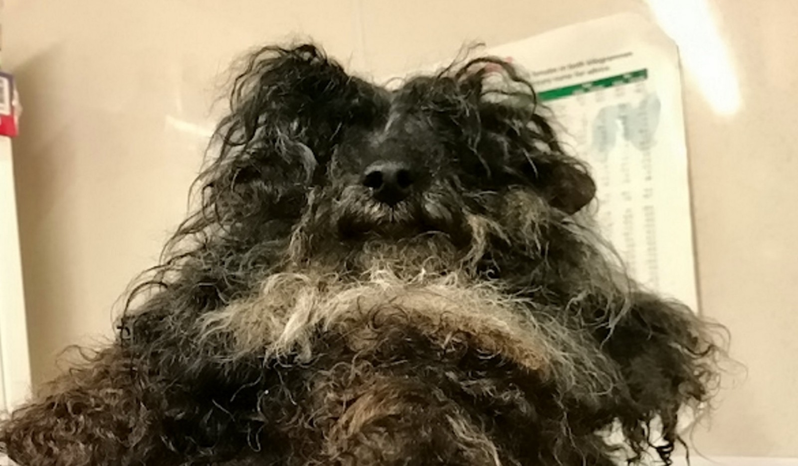 Rescue Staff Forced To Shave Matted Hair Off Poodle - Because It Was So Mistreated It Couldn't Eat Properly