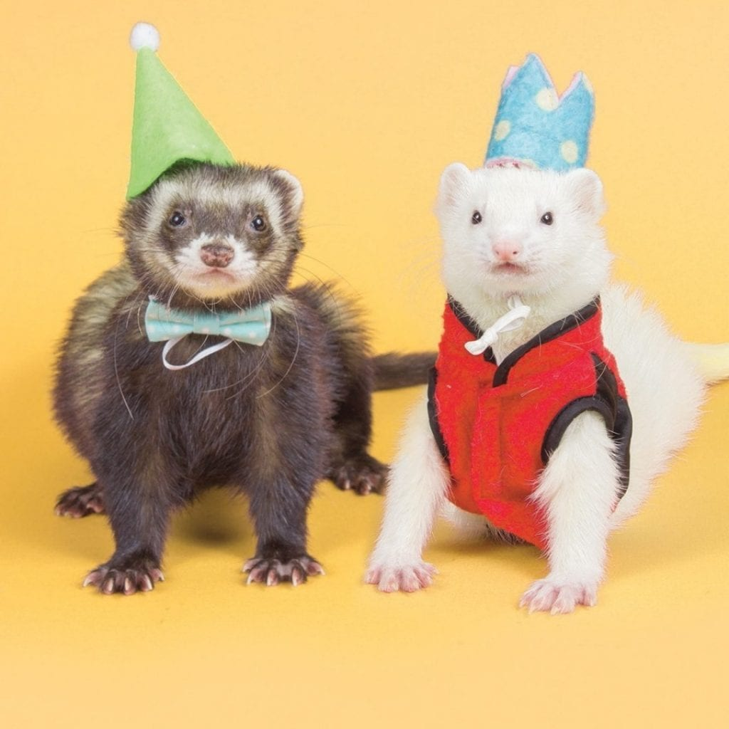 Festive Ferret Has Already Raked In $3000 In Calendar Sales Ahead Of The Holidays