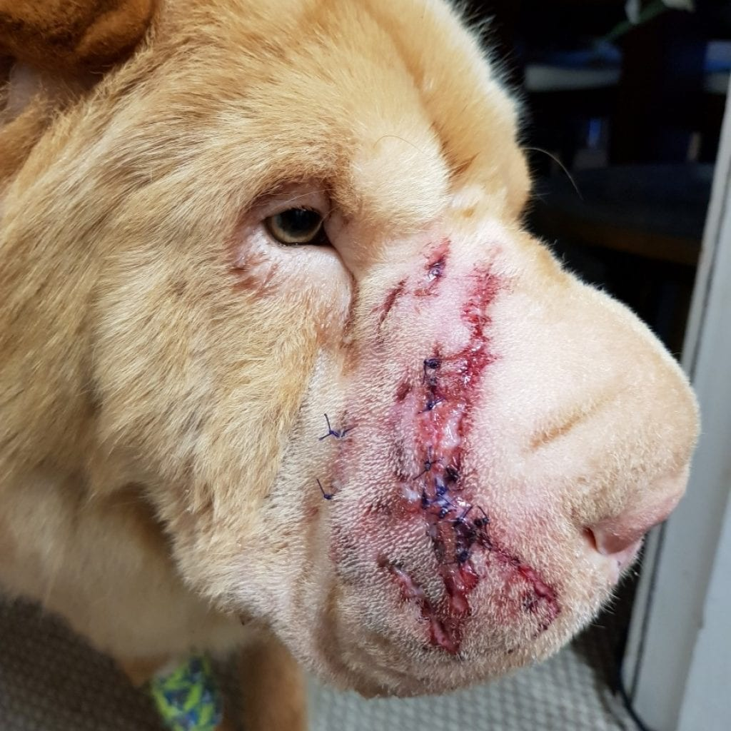 Beautiful Shar Pei Savaged By Out-Of-Control Dog In Violent Attack