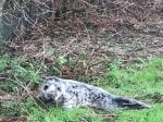 Seal Found In Norfolk Garden After Escaping Four Miles From The Sea