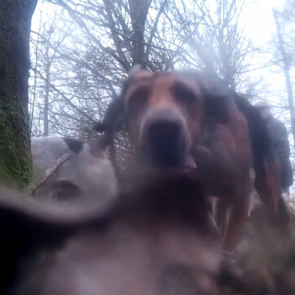 Shocking Footage Captures Hunters Dragging Fox Out Of Hole To Be Hunted By Hounds
