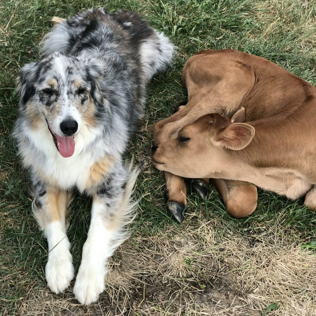 An Adorable Calf Saved From Slaughter Has Become Best Friends With A Dog