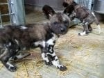 Zoo Celebrates Arrival Of Extremely Endangered Painted Dog Puppies, The Same Breed That Melted Hearts In Attenborough's Dynasties