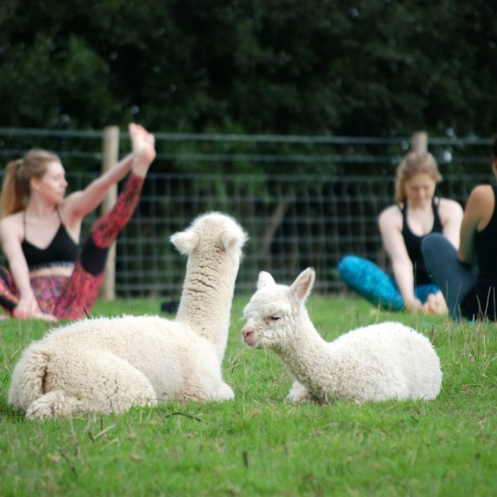 Farm Becomes The First Place In Britain To Offer Yoga Classes - In A Field Full Of ALPACAS