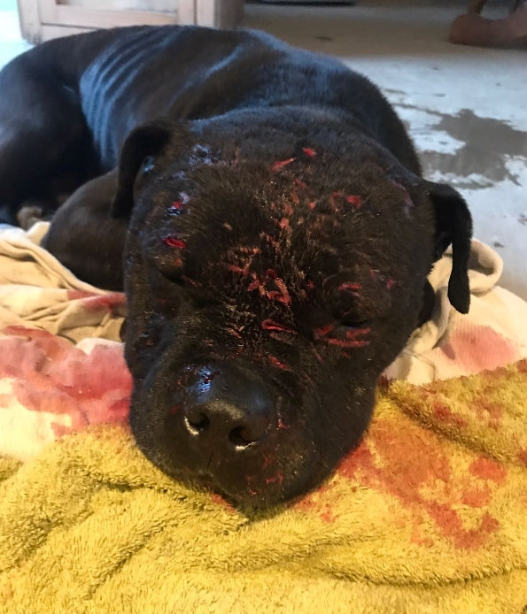 Leader Of A Dog Fighting Gang Has Been Convicted For The THIRD Time After Videos Show Dogs Fighting For Up To 40 Minutes