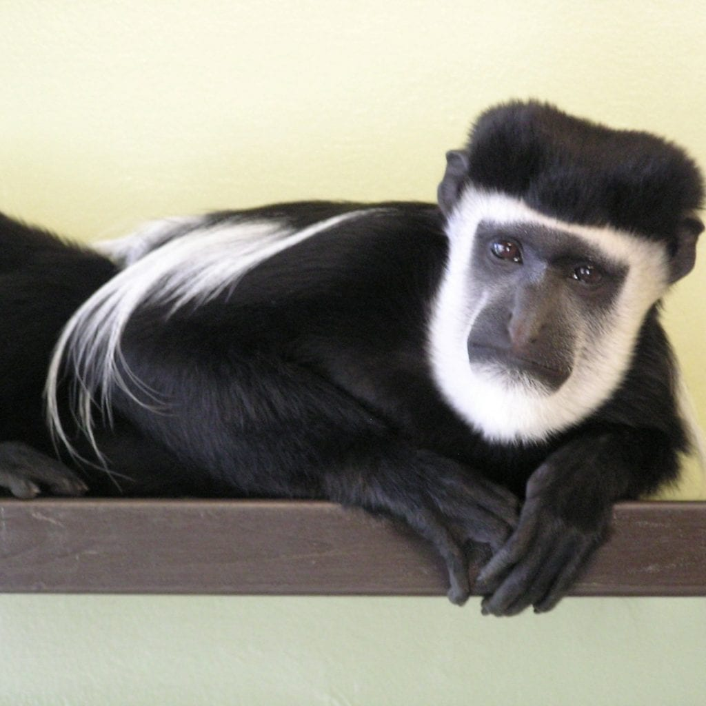 Maarten the monkey needs someone to answer his lonely hearts column & adopt him for Valentine's Day