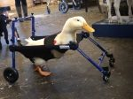 Disabled Duck Takes Its First Steps Thanks To A Nifty Wheelchair
