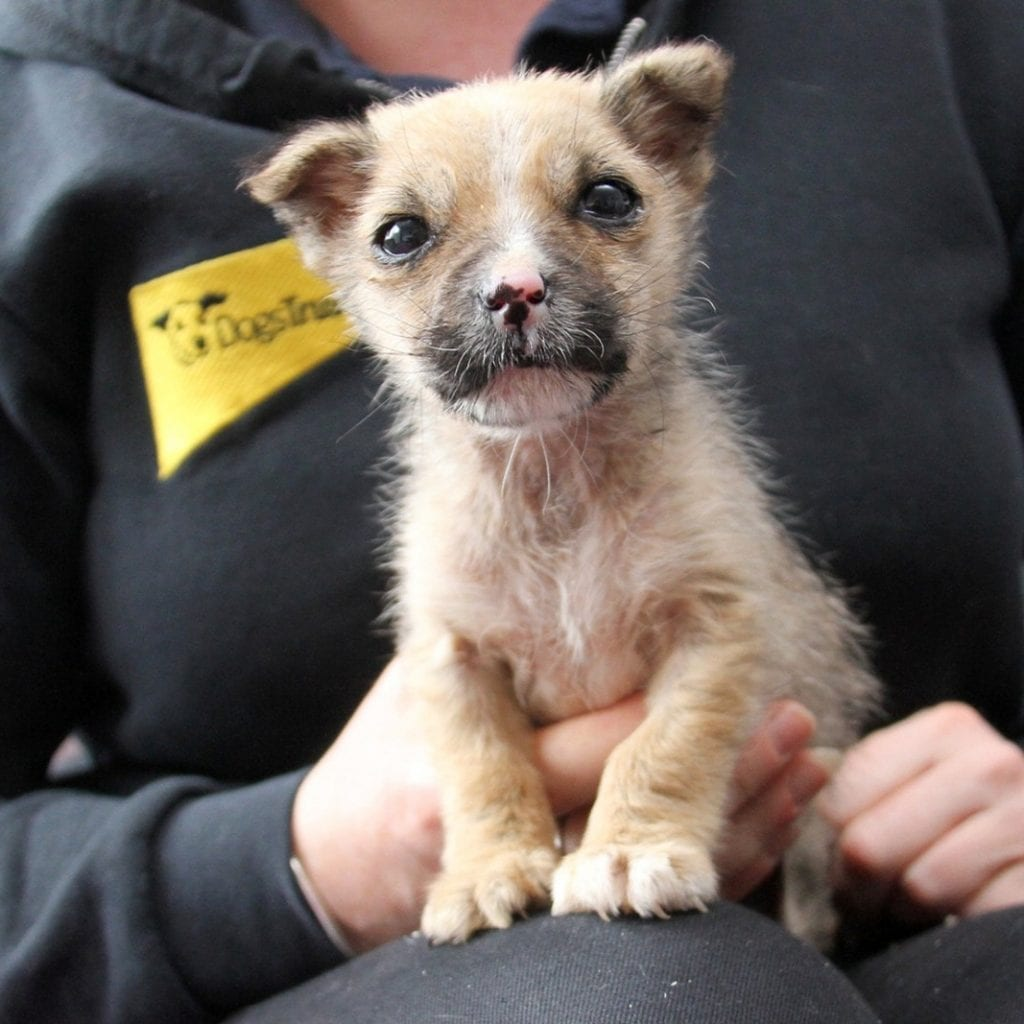 Little Pup Found Close To Death In Cardboard Box Weighed Less Than A Bag Of Sugar