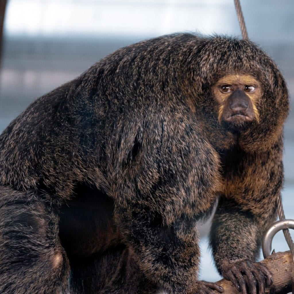 Meet The Pumped Up Primate Who Looks Like He's Been Doing Some Serious Pull-Ups On The Monkey Bars