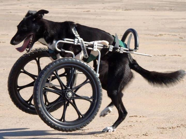 Dog Born Without Two Front Legs Finally Becomes 'Part Of The Pack' - After Being Given A Set Of Wheels