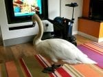 Family On Holiday Left In A Flap When A SWAN Wandered Into Their Apartment To Watch TV