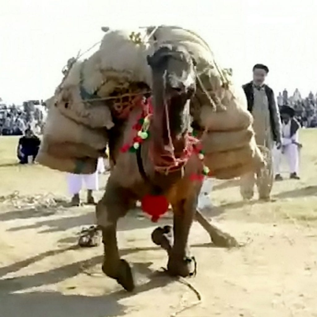 Animal Rights Activists Have Blasted Bizarre Overseas Contest Recently Won By A British Man – Which Sees Camels WEIGHT LIFTING