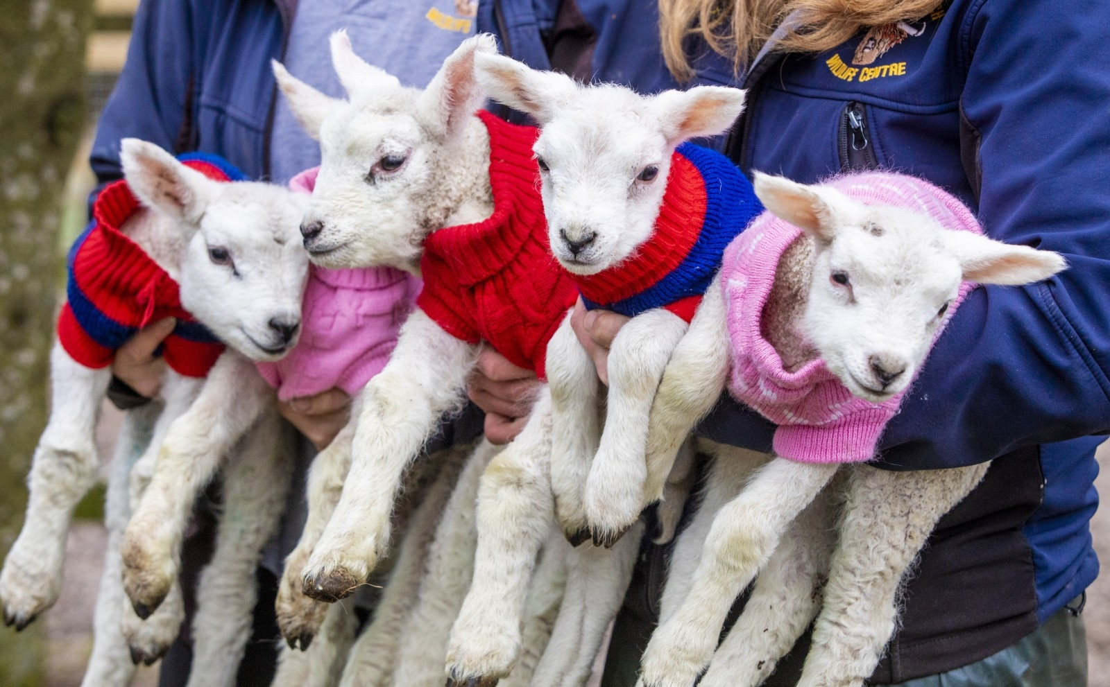 Five Newborn Lambs Dress In Woolly Jumpers To Keep Warm