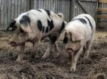 "Animal Welfare Campaigners Hit Out At School – After ""Cruel"" Plans To Slaughter Pet Pigs To Teach Pupils About The Food Chain"