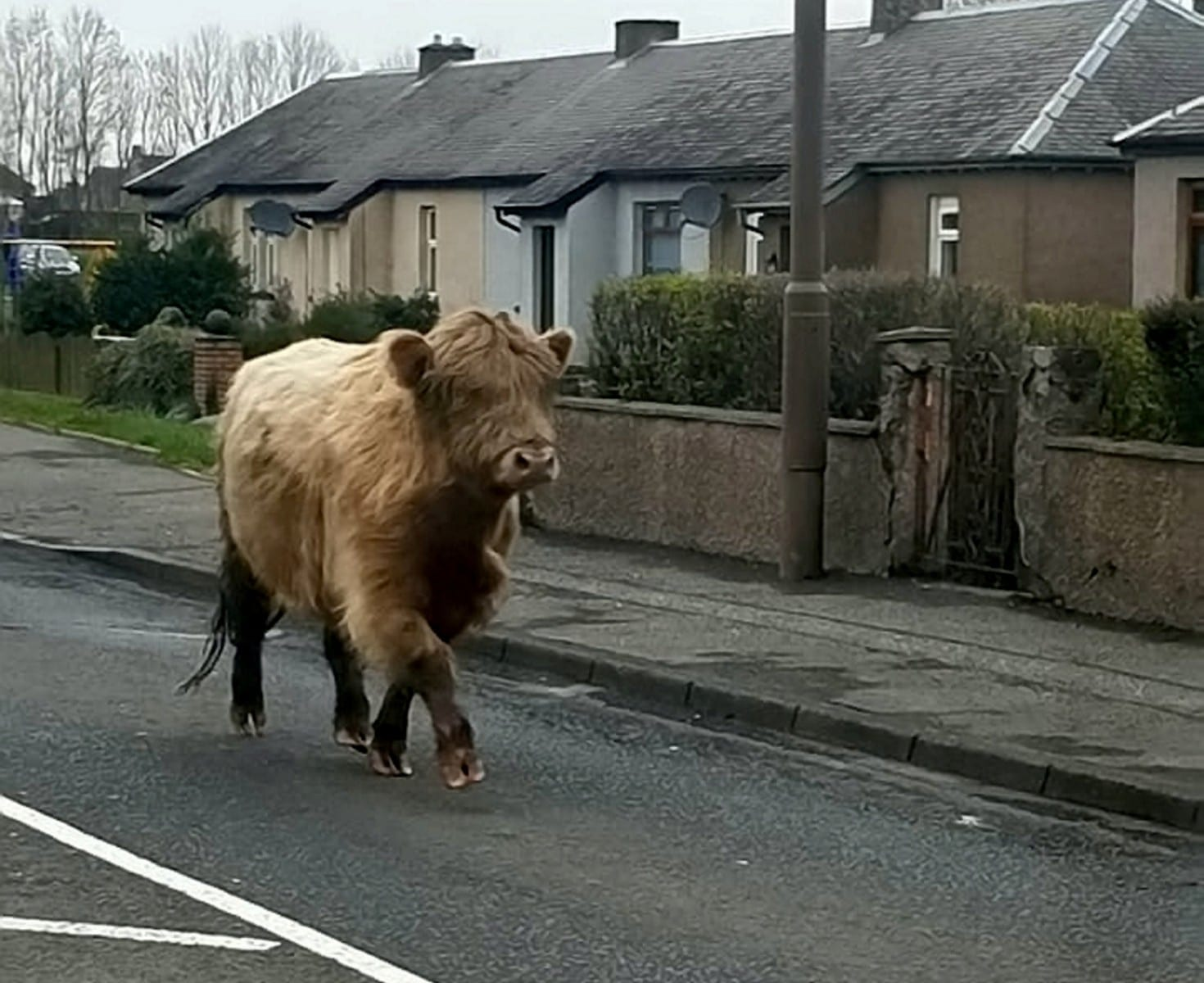 Highland Cow Had A Field Day When She Escaped From A Farm - 'Weaving In And Out Of Cars' In The Street