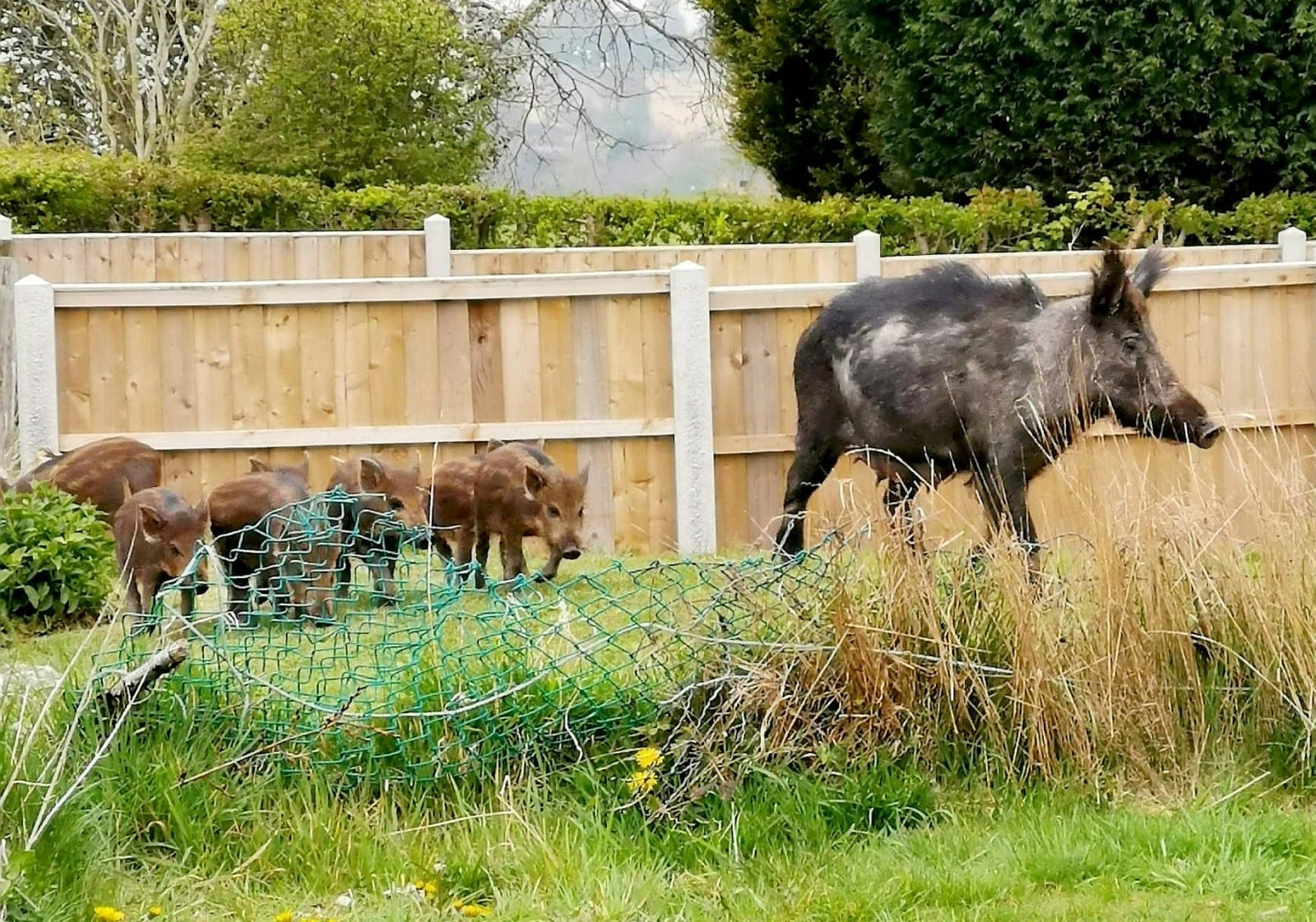 Family Of Wild Boars Spotted Trotting Around The Streets In Staffordshire