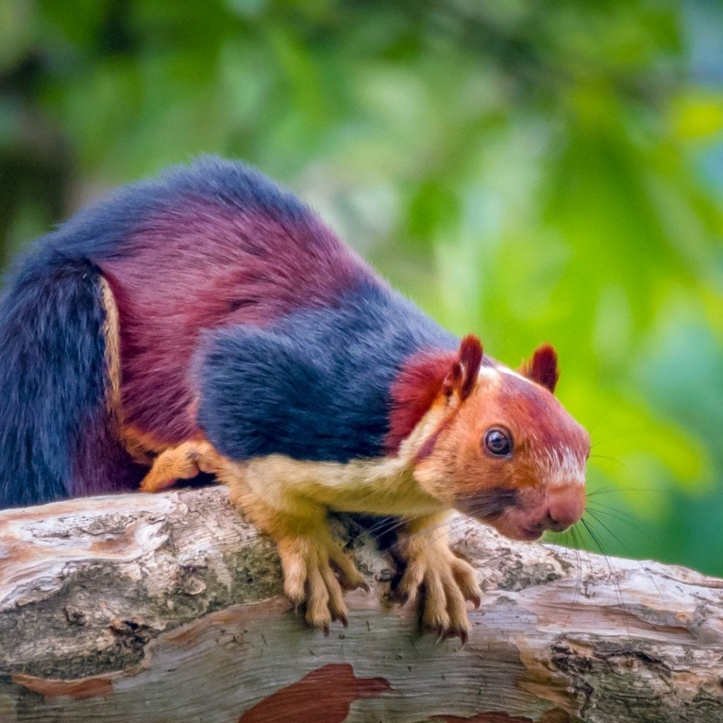 Internet Erupts After Incredible Pictures Of Giant Multi-Coloured Squirrels Set Social Media Alight
