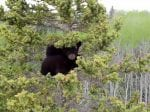 BEAR WITH US – Video Footage Captures Rescue Of Two Orphaned Bear Cubs Who Got Stuck Up A Giant Spruce Tree For Three Days