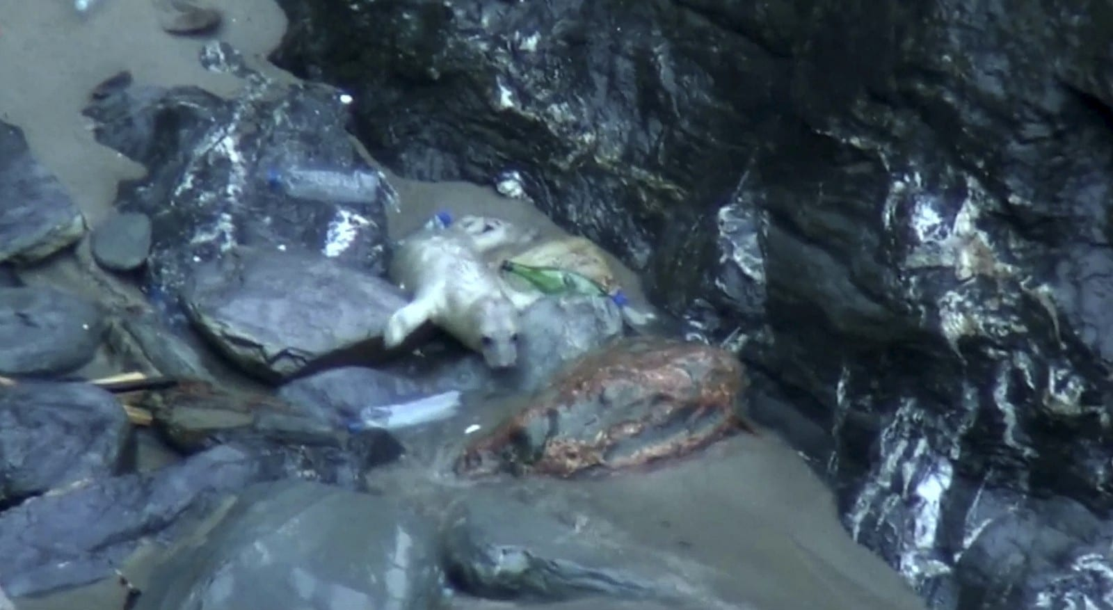 Shocking Video Shows Seal Stranded In Rock Pool And Struggling To Swim – Because It Is Surrounded By Plastic