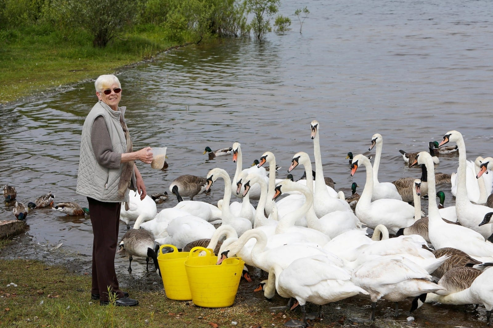 Gran Saves Hundreds Of Swans By Feeding Them Everyday After Their Habitat Was Destroyed In 2009