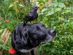 Jackdaw Rescued By A Hero Hound Has Become Best Friends With The Pooch
