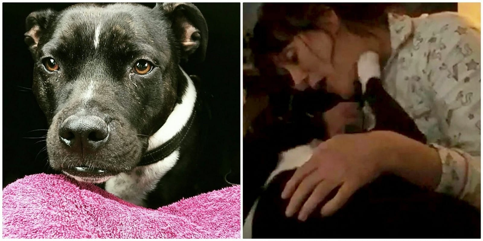 Meet The Clever Staffy Dog Who Can Actually Say HELLO To Greet His Owner