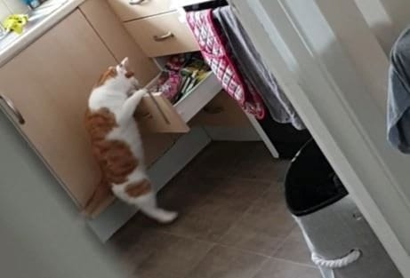 Cheeky Feline Was Caught Raiding The Sweetie Drawer In The Kitchen To Nab An Afternoon Snack