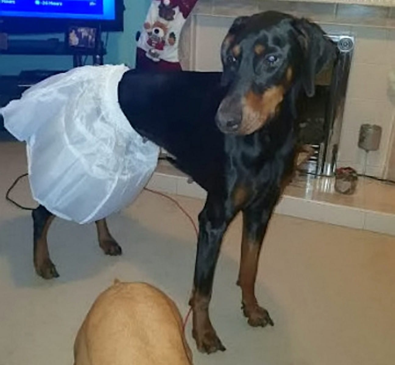 Bride-To-Be Left Disappointed After The Wedding Dress Underskirt She Purchased From Wish.com Would Only Fit Her DOGS