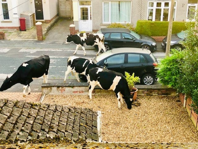Man Is Woken By Suspected Burglars – But Opens Curtains To See COWS On His Lawn