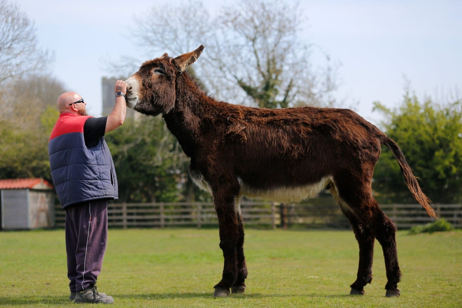 Britain's Biggest DONKEY Is Edging Closer To Becoming The World's Tallest - And Now Measures Just A Quarter Of An Inch Off The Record