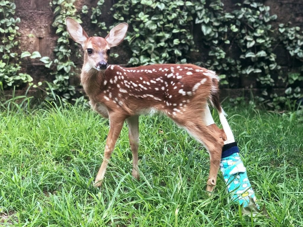 Meet The Adorable Baby Deer Who Was Found Abandoned With A ...