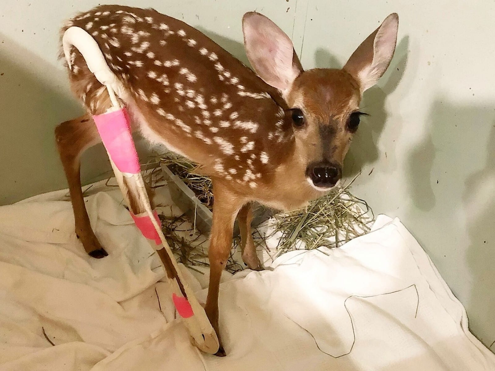 Meet The Adorable Baby Deer Who Was Found Abandoned With A Broken Leg And Now Sports A Bright Pink Cast